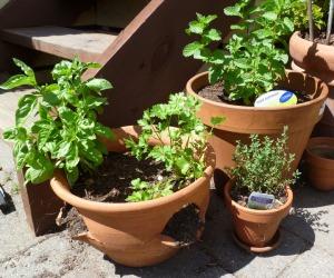 herb garden first planting