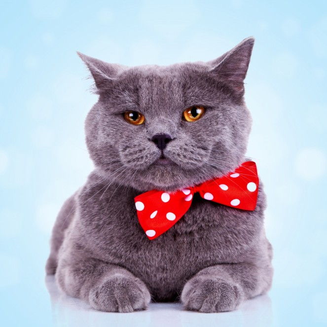 Did you really want to see an image related to bowel cancer screening? I thought not. Here's a bored English cat with a red bow tie instead.